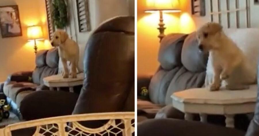 Cucciolo di Labrador su un tavolino