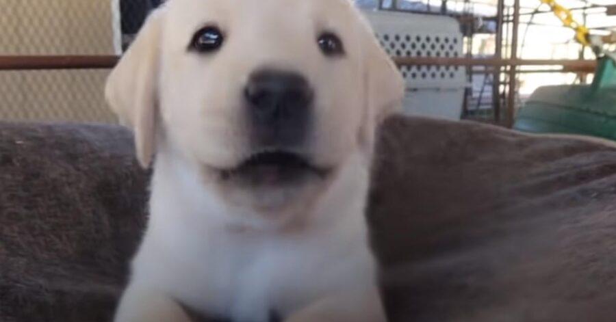 Cucciolo di Labrador in primo piano