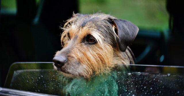 Cane al finestrino della macchina