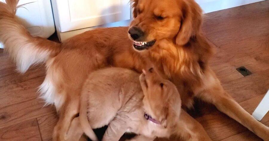 Cucciolo che litiga con cane adulto