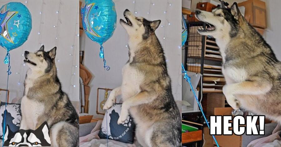 Husky che gioca con un palloncino