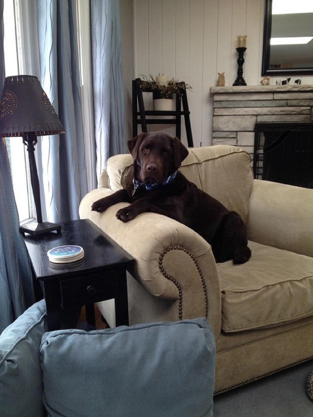 Labrador seduto