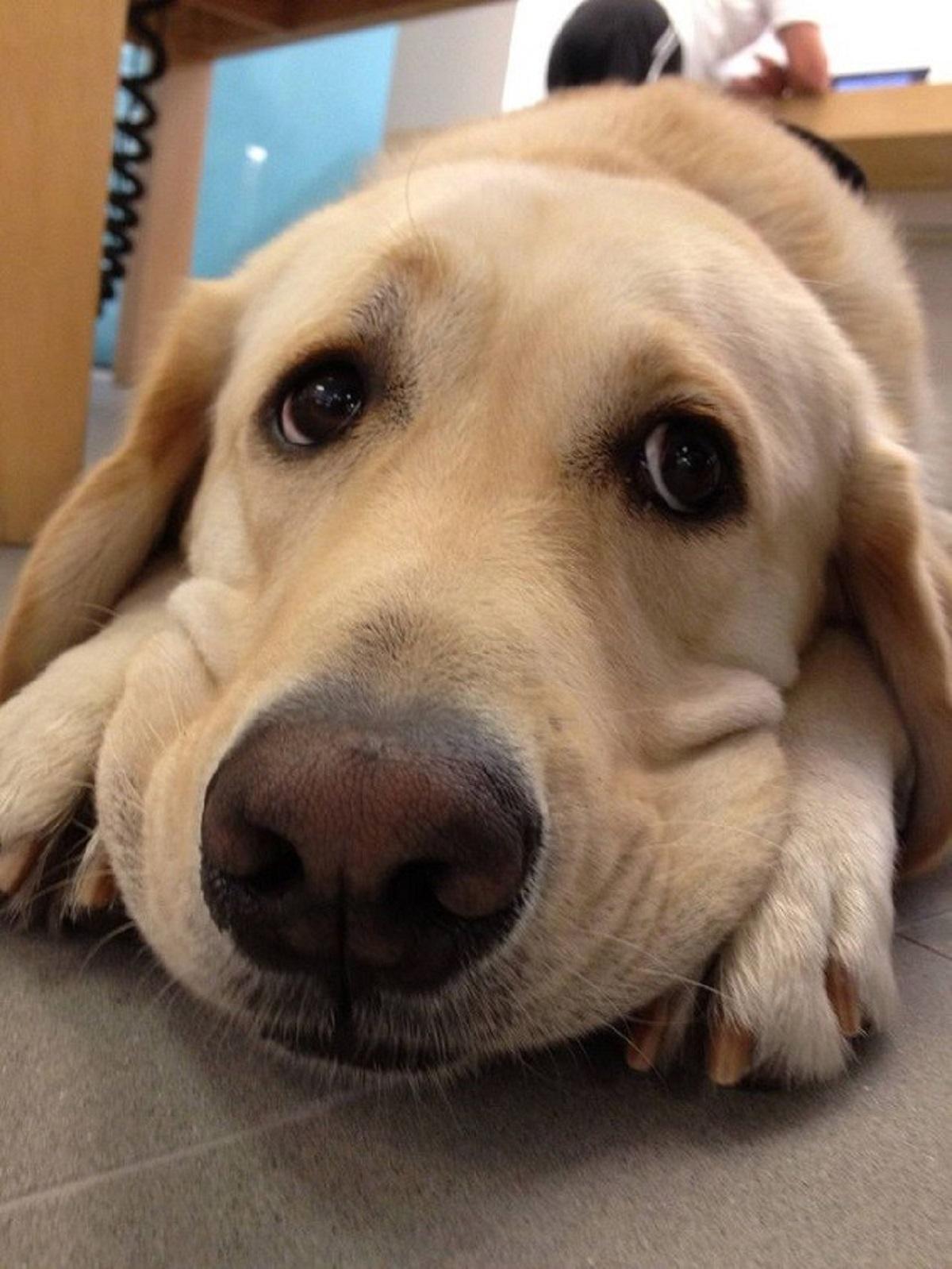 Labrador simpatico