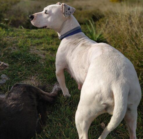 Laika pitbull cerca casa