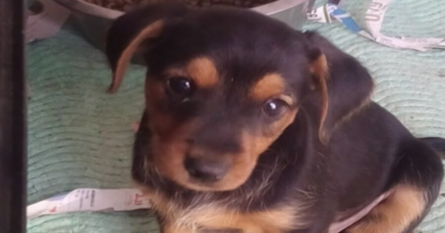 cucciolo sopravvissuto di cagnolina morta per dolore