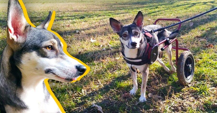 cane paralizzato con carrellino