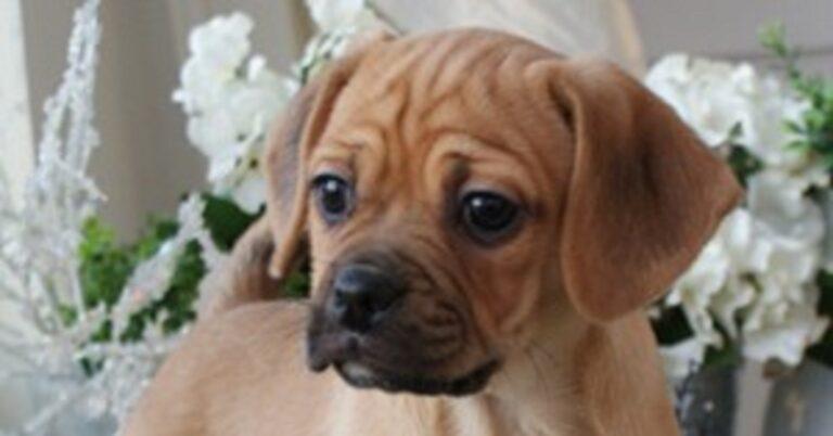 Mix carlino+beagle