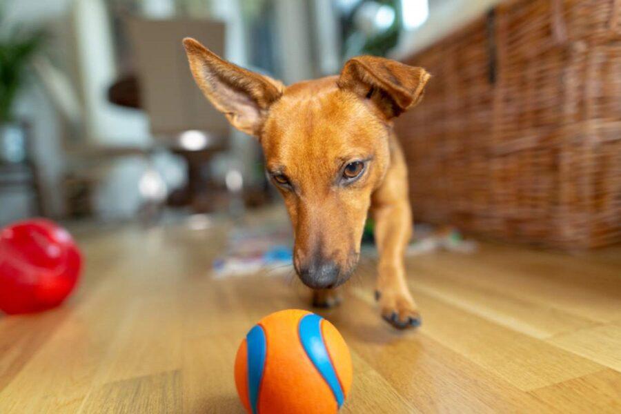 cane rincorre pallina