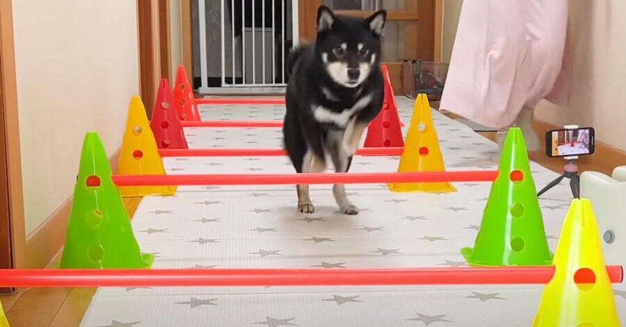 Cane che salta degli ostacoli