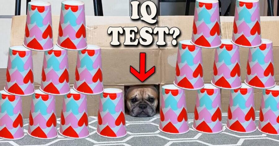 Bulldog Francese test di intelligenza