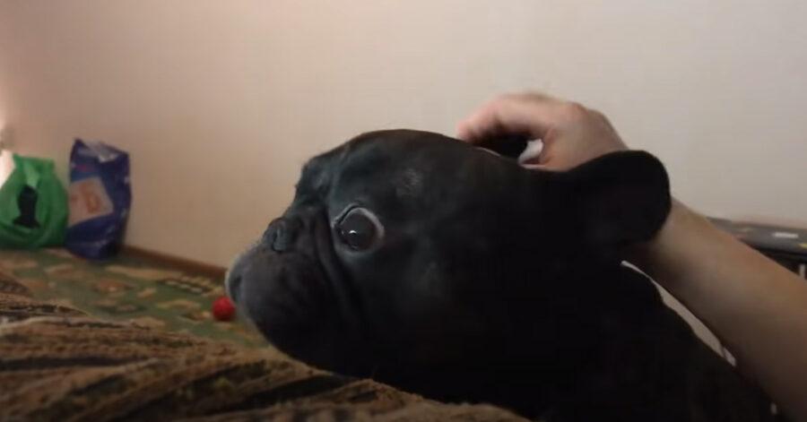 Bulldog Francese che osserva