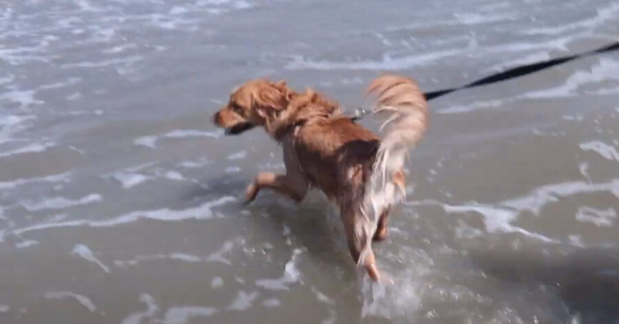 Golden Retriever felice al mare