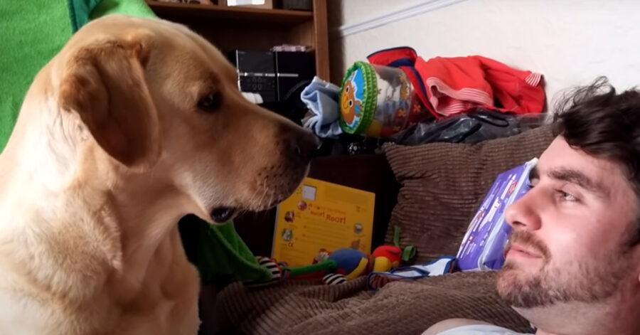 Labrador osserva
