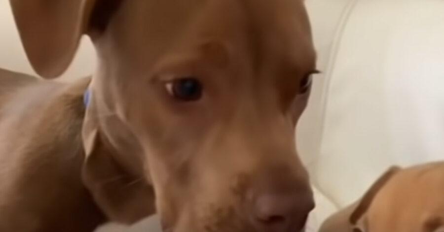 Pitbull che osserva