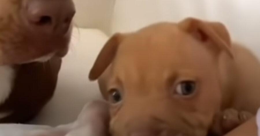 Cucciolo di Pitbull tenero