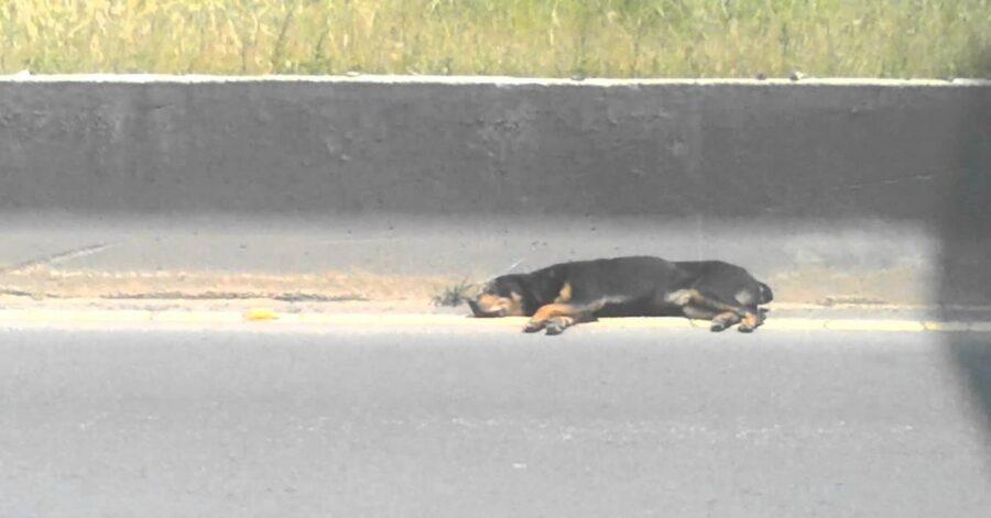 Rottweiler salvato stava per essere investito