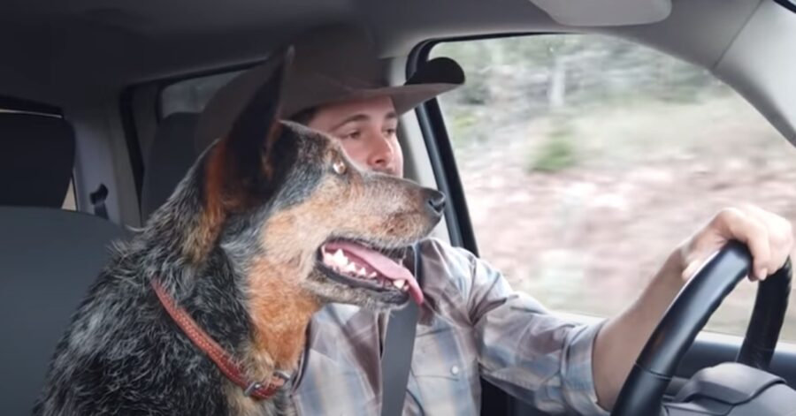 Syd Australian Cattle Dog video