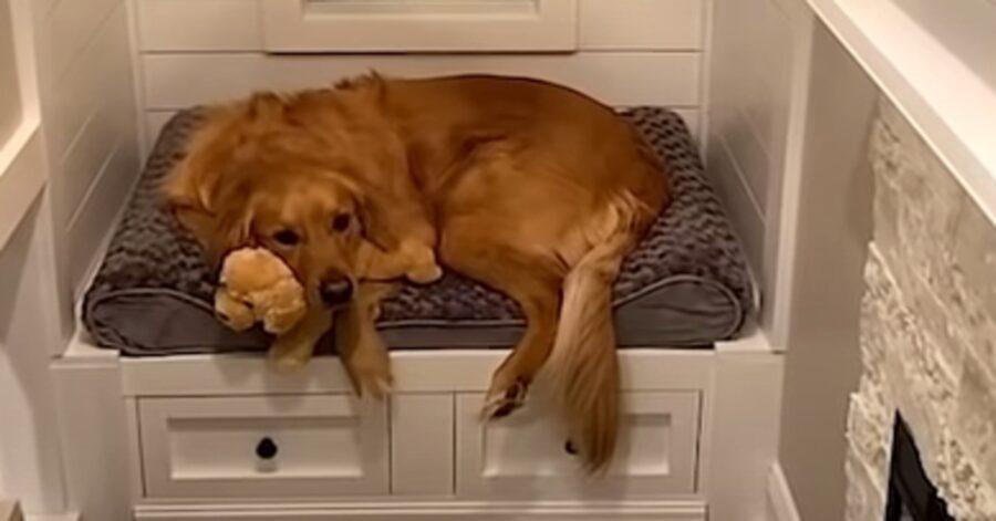 Teddy Golden Retriever casetta video
