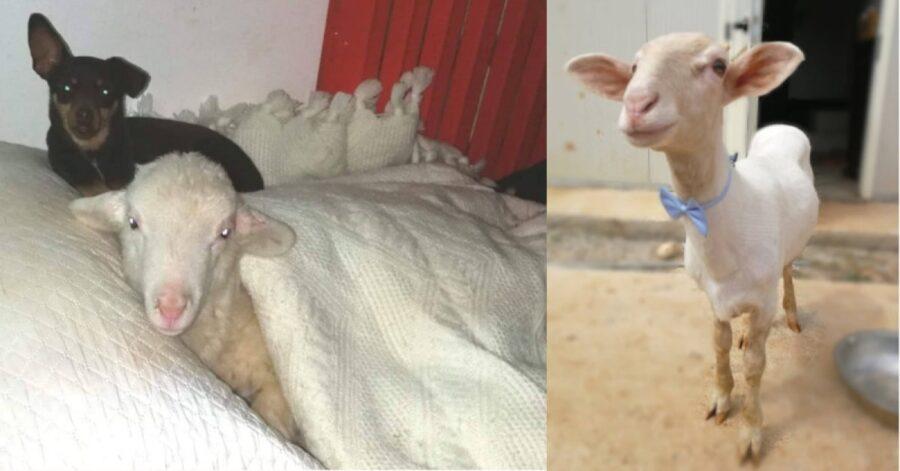 Torquato, agnello ceh si crede cane, due foto