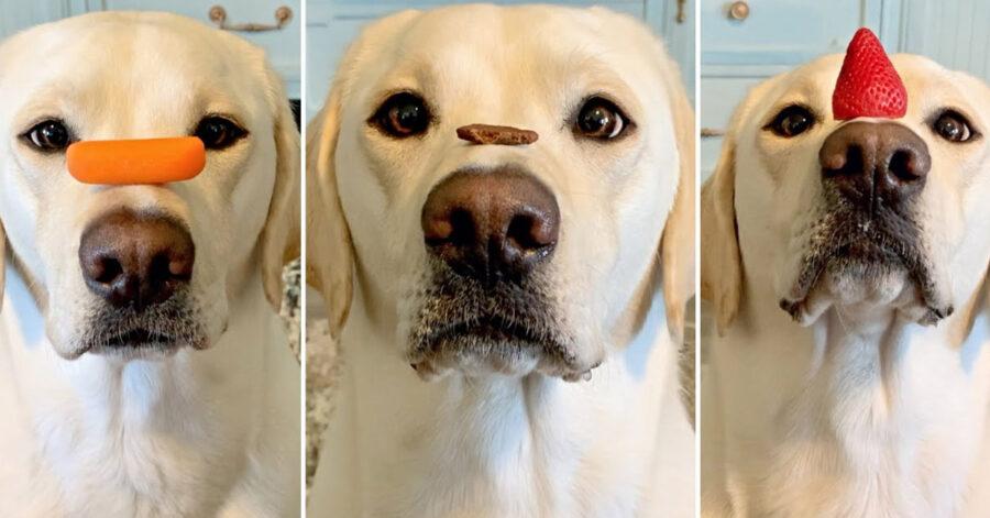 Labrador con il cibo sul naso