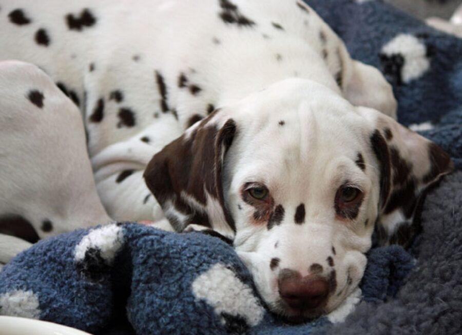 cucciolo coperta riposo