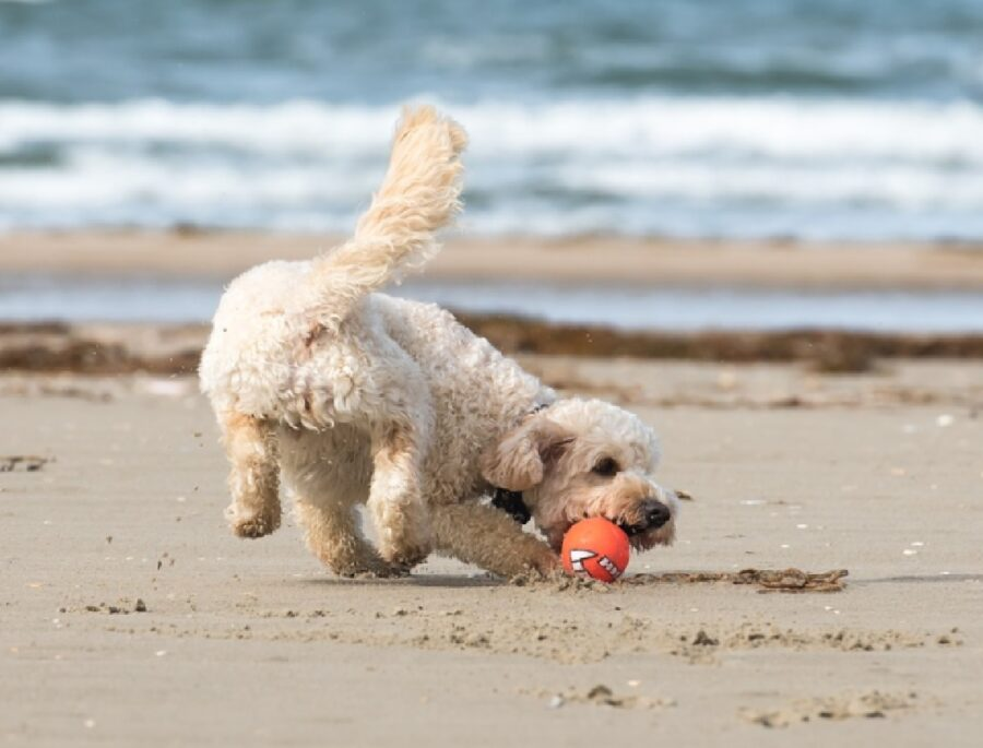 cane gioca pallina arancione