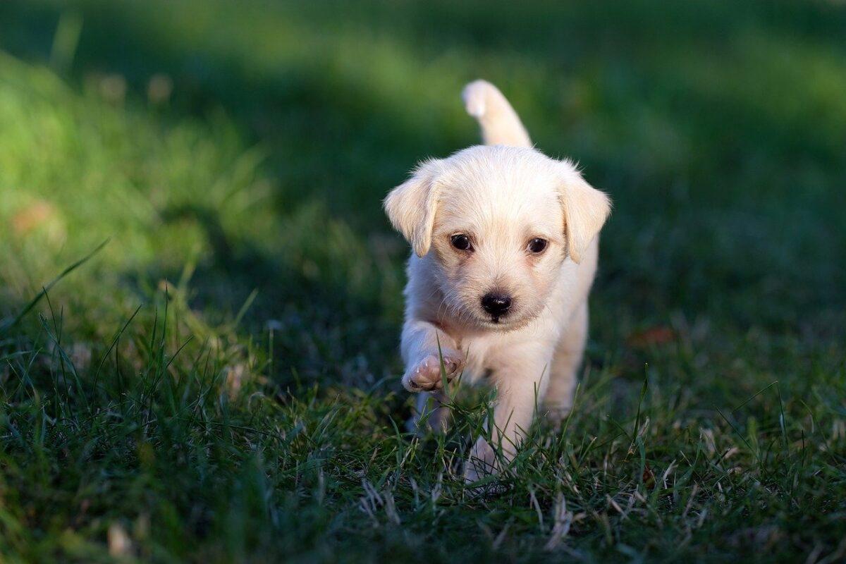 cane bianco cucciolo