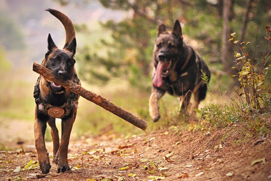 cani giocano nel bosco