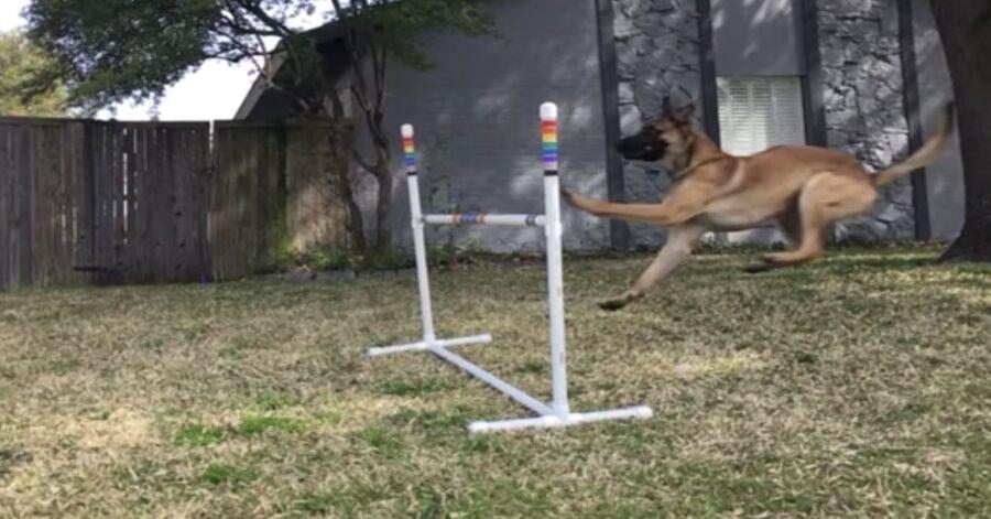cane cerca di saltare sbarra
