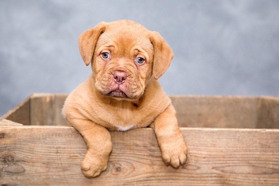 cucciolo di cane in una scatola di legno