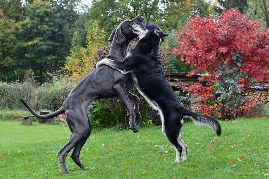 cani che combattono