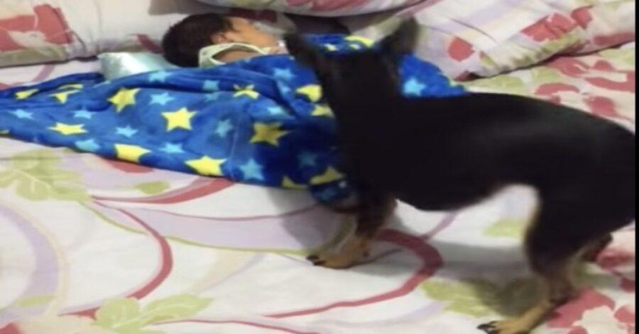 Pinscher copre un bambino con una copertina azzurra