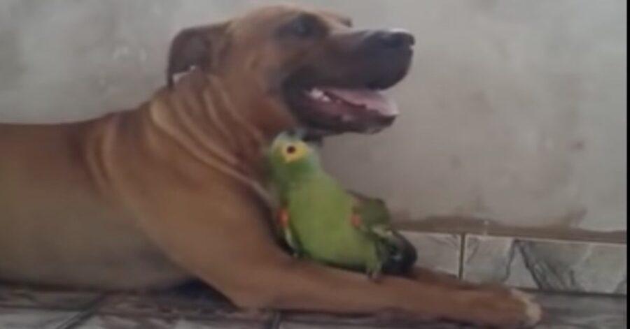 pitbull gioca con pappagallo Cassio