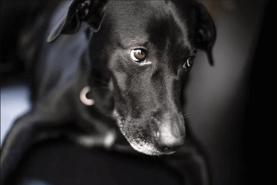 cane dimesso