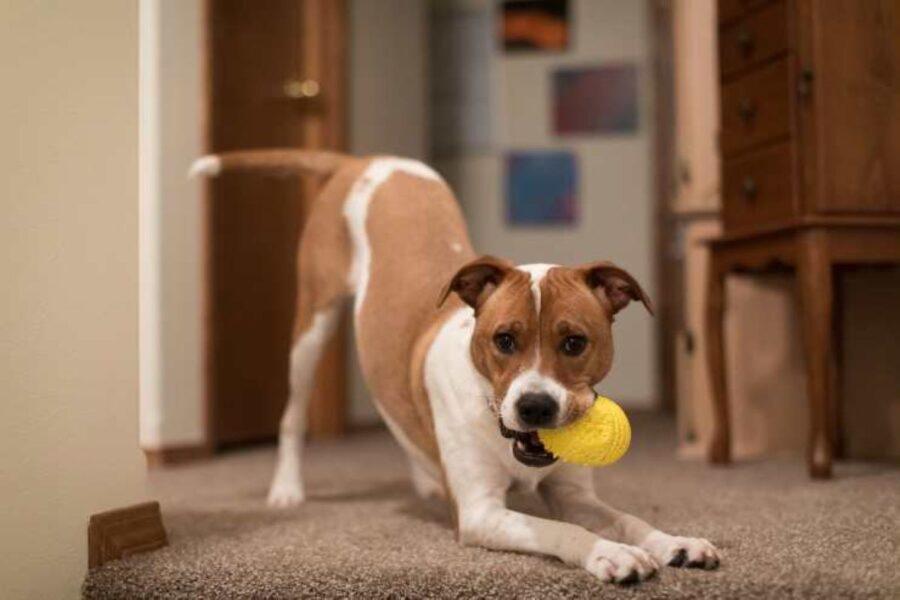 cane gioca da solo
