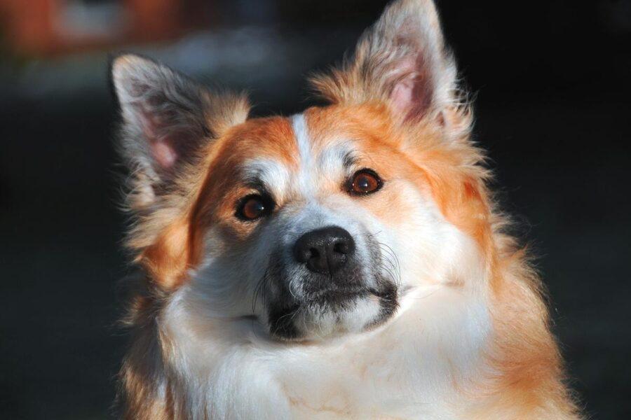 cane a pelo rosso e bianco