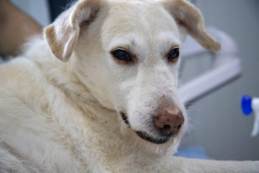 cane bianco che sta male