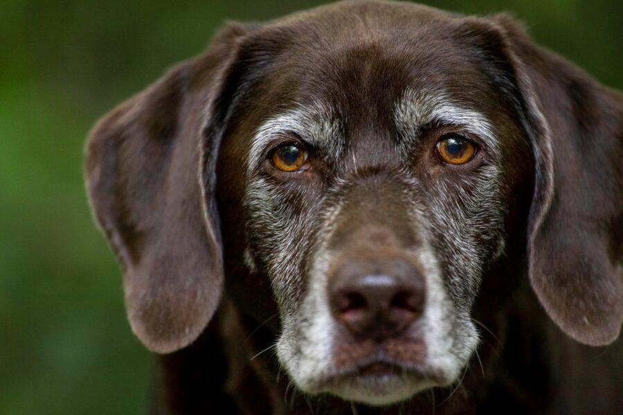 cane molto anziano