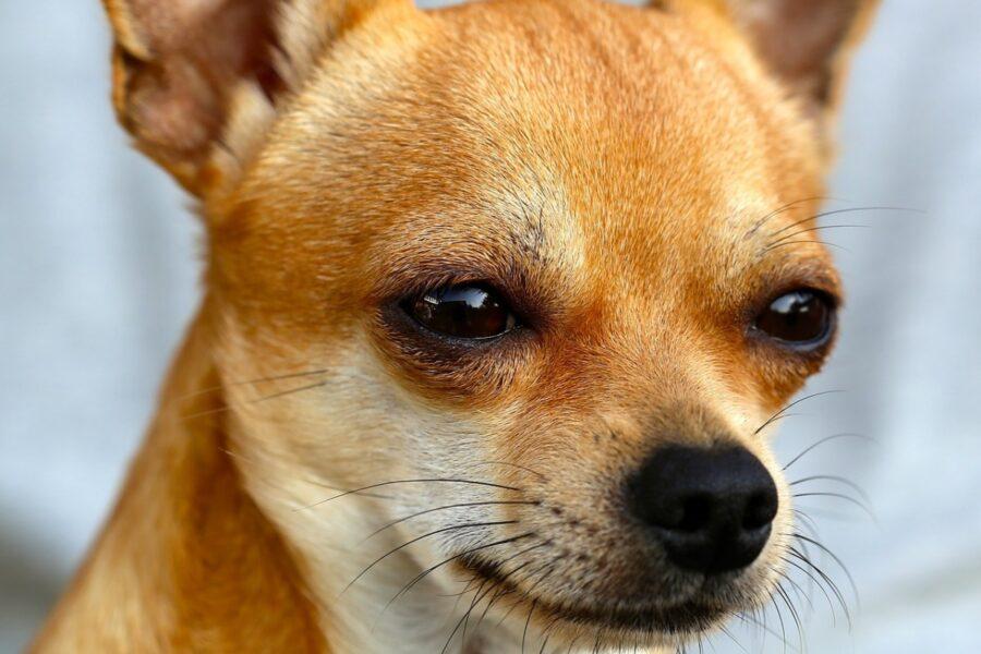 chihuahua con gli occhi socchiusi