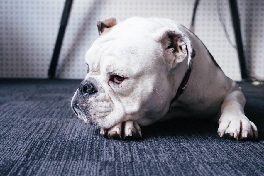 cane bulldog sul pavimento
