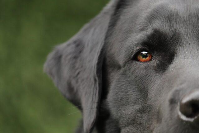 labrador con gli occhi marroni