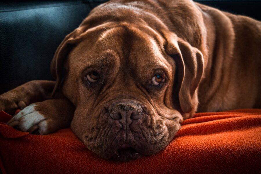 cane rugoso sul divano