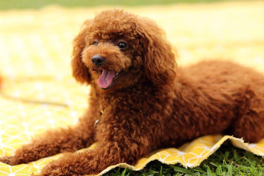 cagnolino marrone a pelo riccio