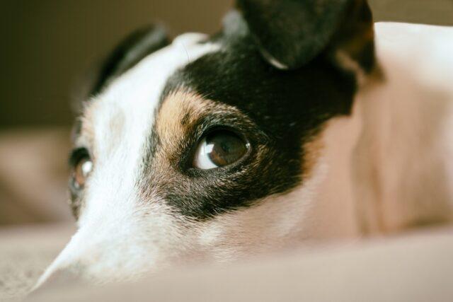 sguardo del cane