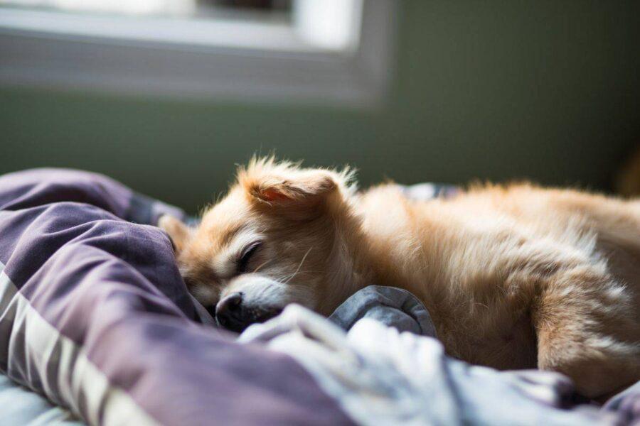 cane che ha sonno