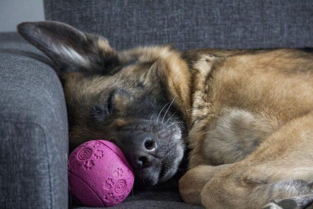 cucciolo di pastore tedesco che dorme