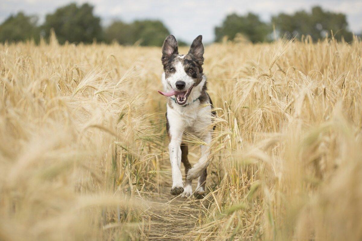 cane corre in un campo