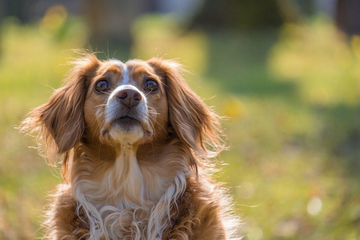 cane curioso