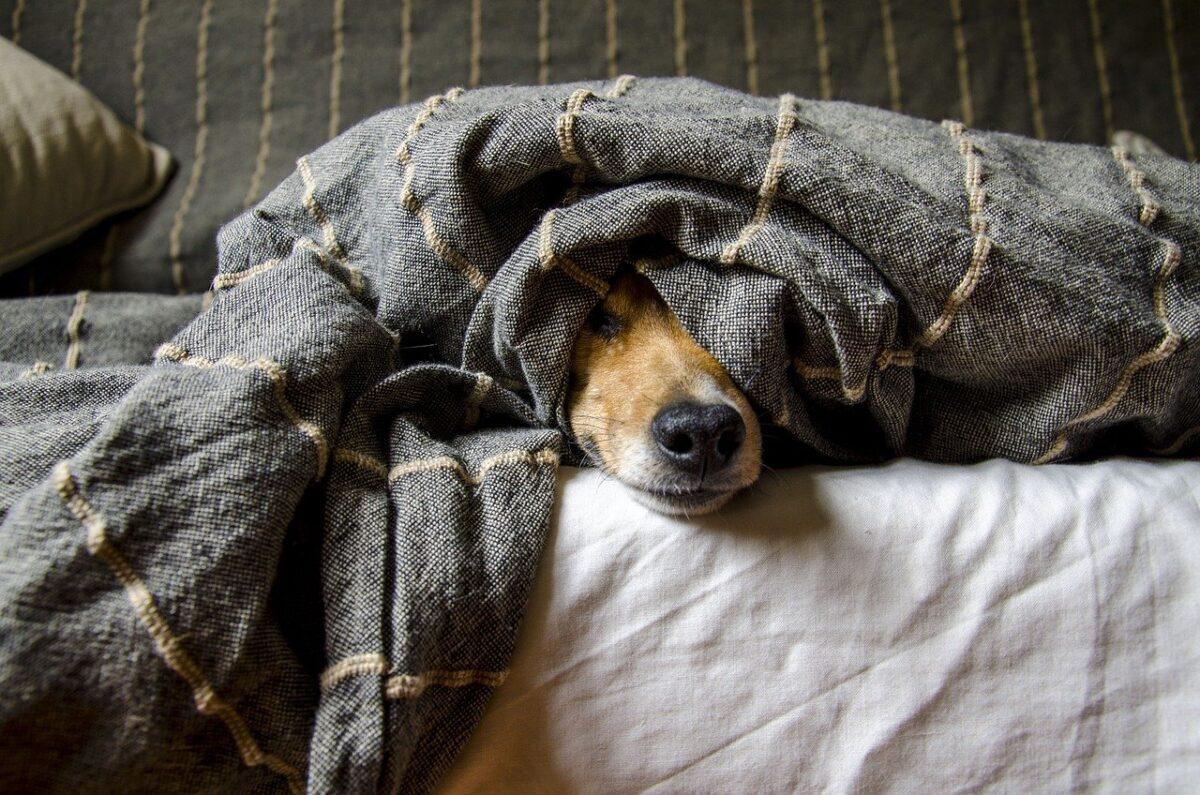 cane impaurito sotto le coperte