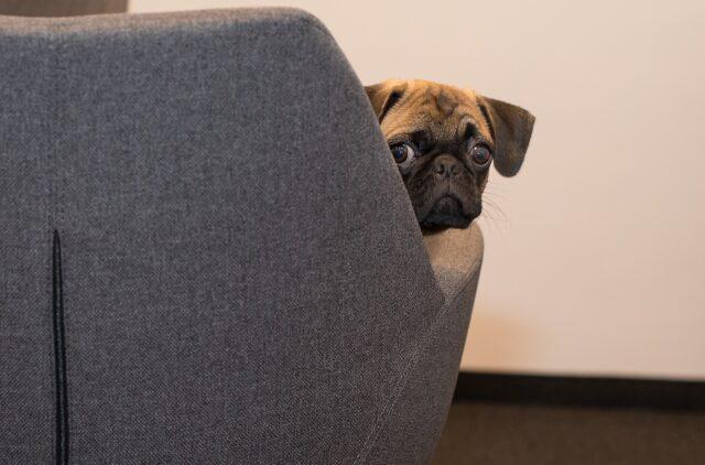 cane impaurito dietro ad un divano